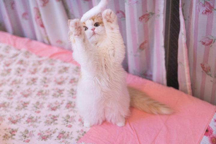 子猫 ドライフード
